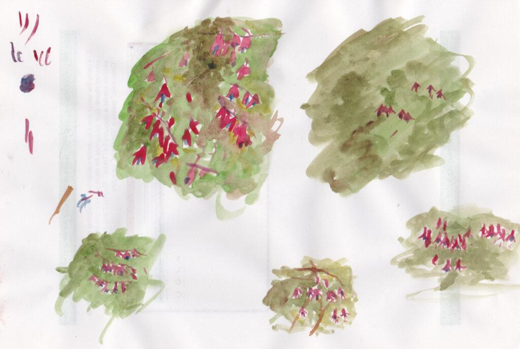 Fuschia sketches